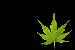 Японский зеленый кленовый лист на черноте Стоковое фото RF