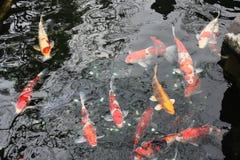 Японский карп в пруде - токио Стоковые Фото