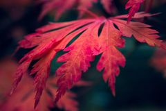 Японский кленовый лист стоковое фото rf