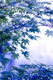 японский клен Стоковое фото RF