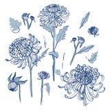 Японский комплект хризантемы Собрание при нарисованная рука отпочковывается, цветки, листья Иллюстрация типа год сбора винограда Стоковое Фото