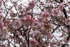 Японский конец-вверх вишневых цветов стоковые изображения rf