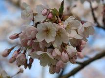 Японский конец вишни стоковая фотография rf