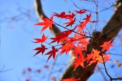 Японский красный кленовый лист в осени Стоковые Фото