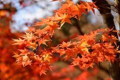 Японский красный кленовый лист в осени Стоковое Изображение