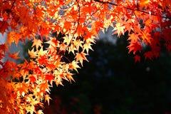 Японский красный кленовый лист на темной предпосылке Стоковые Фотографии RF