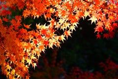 Японский красный кленовый лист Стоковые Фотографии RF