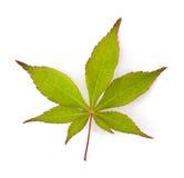Японский кленовый лист Стоковое Изображение