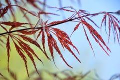 Японский кленовый лист Стоковые Фотографии RF