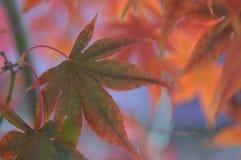 Японский клен в осени Словении Стоковые Фотографии RF