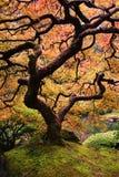 Японский клен Стоковые Изображения