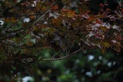 Японский клён Стоковое фото RF