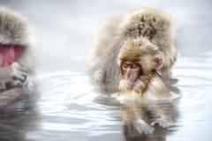 Fuscata Macaca принимает ванну горячей весны стоковые фотографии rf