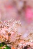 Японский морской конек пигмея Стоковые Фотографии RF