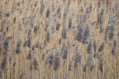 Японский мотив: камышовое поле сфокусируйте мягко сбор винограда фото предпосылки красивейший бумажный Влияние бумаги акварели стоковые фото