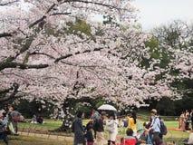 Японский наслаждаясь фестиваль вишневых цветов внутри korakuen сад Стоковые Фото