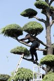 Японский профессиональный садовник подрезая кедр Стоковые Фото