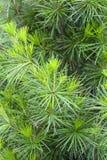 Японский сад, японская сосна, конец вверх, Wroclaw, Польша Стоковое Изображение