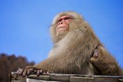 японский снежок обезьяны macaque Стоковое Изображение