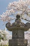 Японский фонарик с вишневыми деревьями в цветени Стоковая Фотография RF