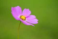 Японский цветок мака Стоковое Изображение RF