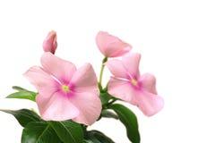 Японский цветок розового барвинка в белизне стоковое изображение