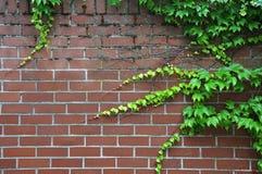 Японский creeper растя на brickwall Стоковое Изображение