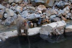 Японский Macaca Fuscata обезьяны снега водным бассейном стоковые изображения