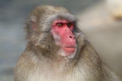 японский macaque Стоковые Изображения RF