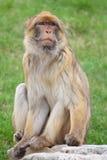 японский macaque Стоковые Фотографии RF