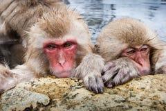 японский macaque Стоковые Изображения