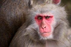 японский macaque Стоковое Фото