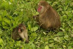японский macaque Стоковое Изображение