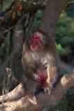 японский macaque Стоковые Фото