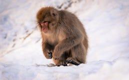 японский macaque Стоковая Фотография RF