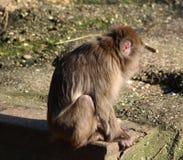 японский macaque Стоковое фото RF
