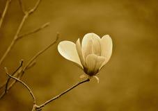 японский magnolia Стоковые Фотографии RF