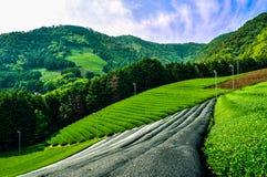 Японское поле чая на солнечный день стоковое фото