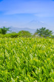 Японское поле зеленого чая с Фудзи Стоковые Фото