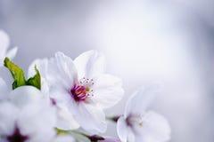Японское цветение вишни Стоковая Фотография