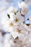 Японское цветение вишни Стоковые Изображения RF