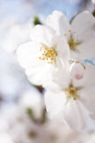 Японское цветение вишни Стоковое Изображение