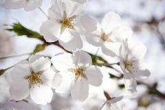 Японское цветение вишни Стоковые Фото