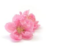 Японское цветение персика на белизне Стоковая Фотография