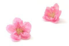 Японское цветение персика на белизне 2 Стоковое Фото