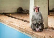 Японское macaco Стоковая Фотография