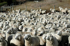 ярды овец Стоковое Изображение RF