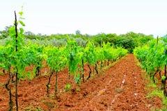 ярд вина Стоковая Фотография RF
