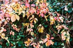 Яркая ая-зелен, желтая и красная листва осени в саде Lluc ботаническом, Майорке Стоковое Изображение