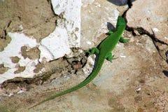 Зеленая ящерица на утесах стоковое изображение rf
